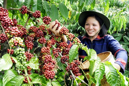 Le Vietnam parmi les trois premiers fournisseurs de cafe aux Etats-Unis hinh anh 1
