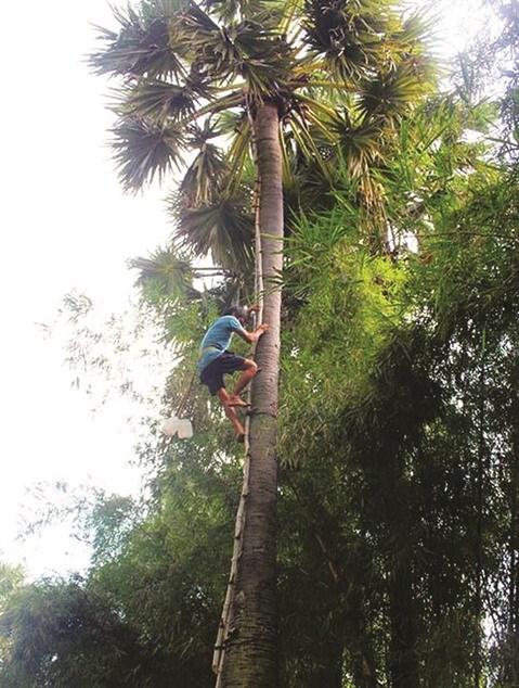 A Bay Nui, le sucre de palme remporte la palme hinh anh 1
