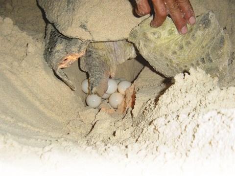 Con Dao, sanctuaire des tortues vertes hinh anh 1