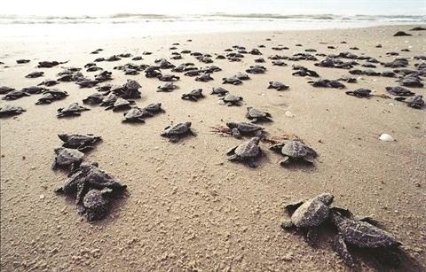 Con Dao, sanctuaire des tortues vertes hinh anh 2