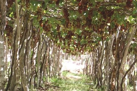 Les vignerons de Ninh Thuan misent sur la qualite hinh anh 1