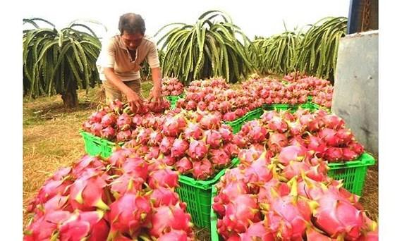 La Nouvelle-Zelande soutient le Vietnam dans les exportations de pitaya hinh anh 1