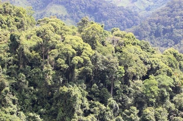 Quang Tri veut tripler sa superficie forestiere FSC en dix ans hinh anh 1