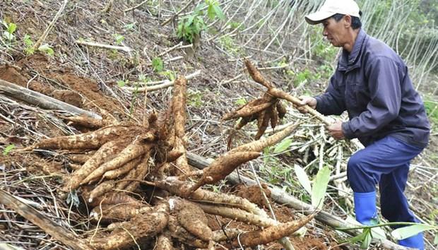 Une annee morose pour la filiere vietnamienne du manioc hinh anh 1