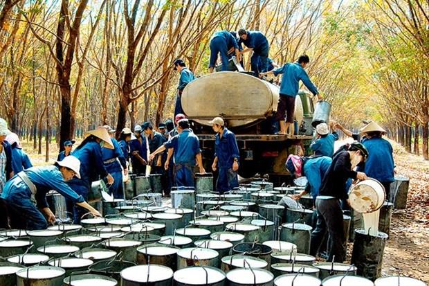Le Vietnam exporte plus de 841 millions de dollars de caoutchouc hinh anh 1