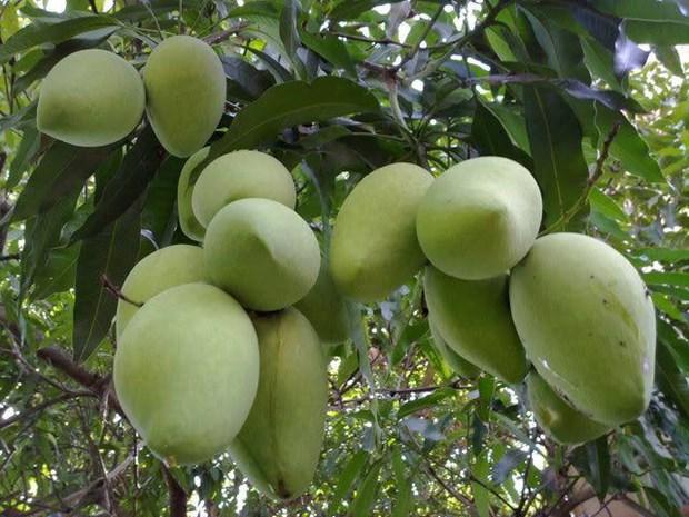 Tien Giang: cooperation dans l'exportation de mangues en Republique de Coree hinh anh 1