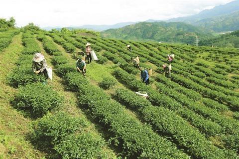 Phu Tho valorise la production de the vert hinh anh 1