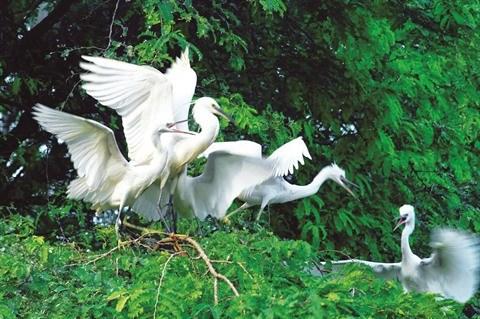 Quand les oiseaux sauvages elisent domicile en centre-ville a Ca Mau hinh anh 2