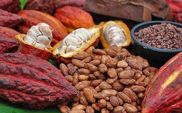 Du cacao organique du Vietnam exporte au Japon hinh anh 1