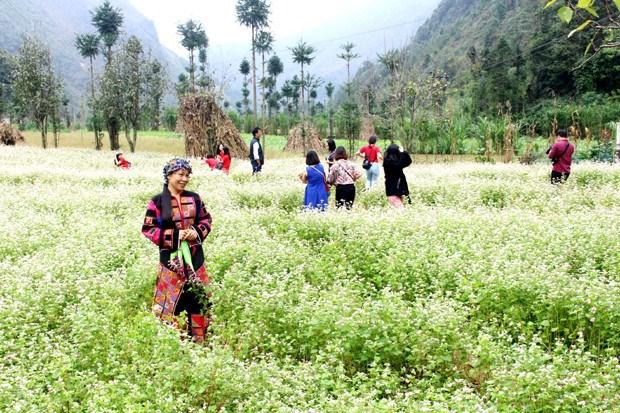 Le 5e festival des fleurs de sarrasin de Ha Giang hinh anh 1