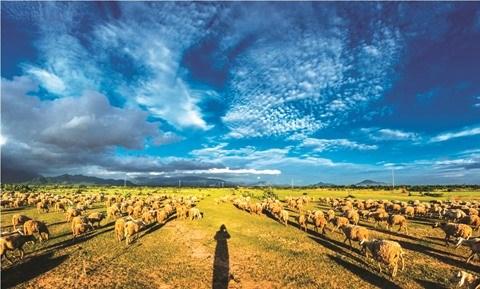 La breve histoire du mouton au Vietnam hinh anh 1