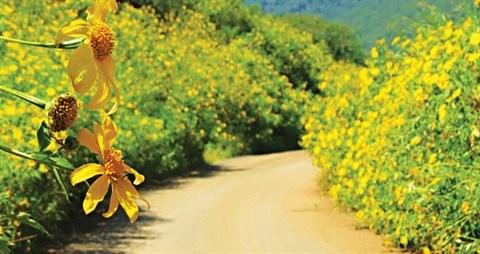 Les tournesols mexicains embellissent le Parc national de Ba Vi hinh anh 1
