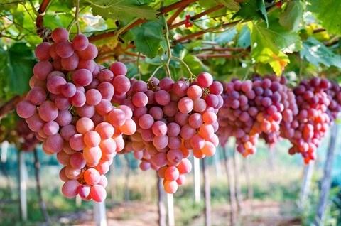 Australie et Vietnam renforcent leurs liens commerciaux grace au raisin hinh anh 1
