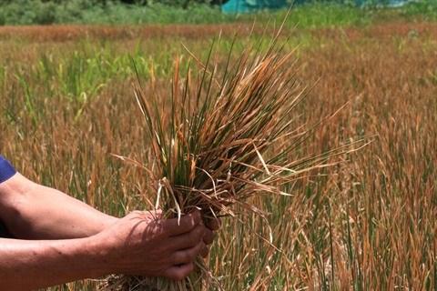 Le rechauffement climatique menace l'agriculture du Tay Nguyen hinh anh 3