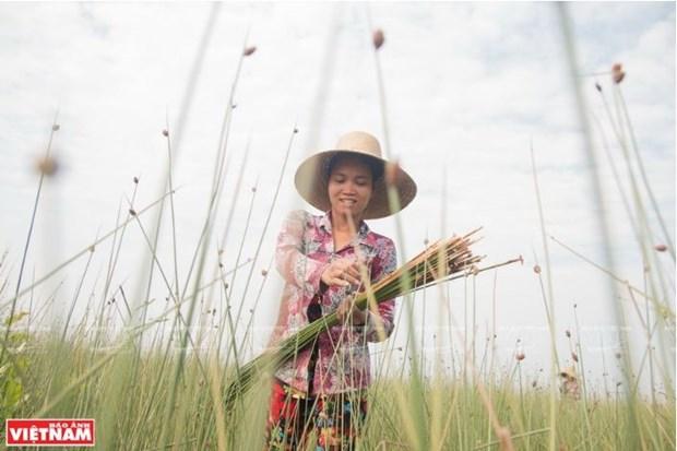 A Phu My, de la culture de Lepironia articulata au tissage de l'herbe hinh anh 2