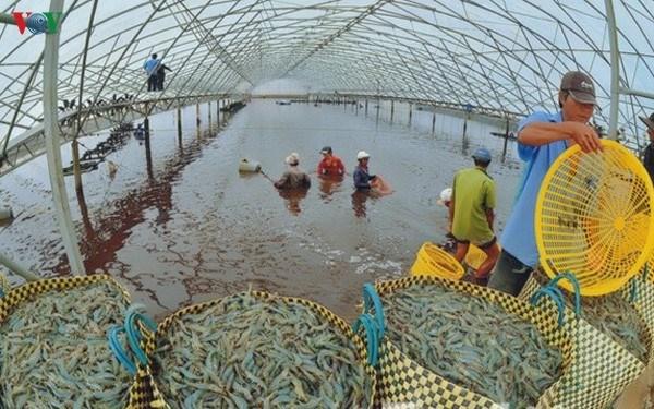 Le delta du Mekong table sur 1,1 million de tonnes de crevettes d'ici 2025 hinh anh 2