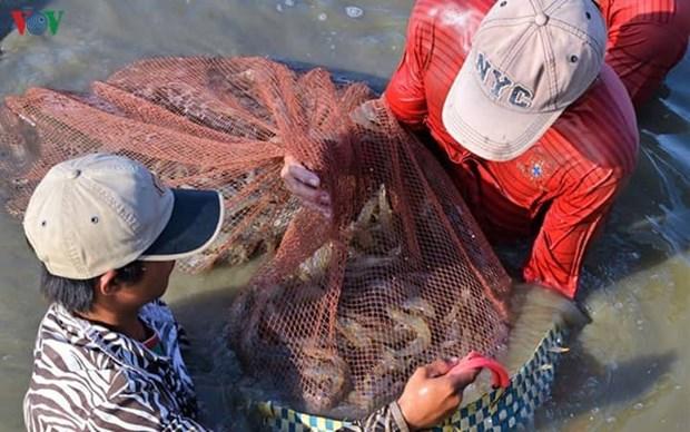 Le delta du Mekong table sur 1,1 million de tonnes de crevettes d'ici 2025 hinh anh 1