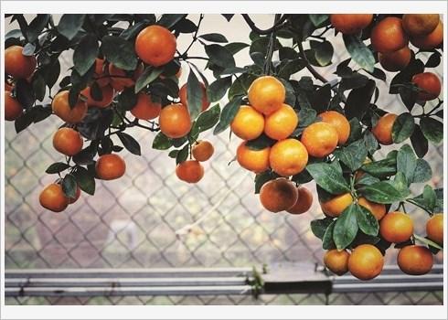 Ballade dans le village traditionnel des kumquats de Tu Lien hinh anh 3