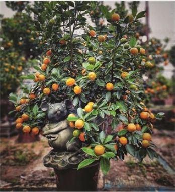 Ballade dans le village traditionnel des kumquats de Tu Lien hinh anh 2