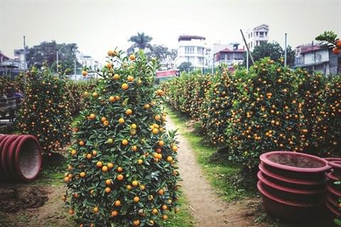 Ballade dans le village traditionnel des kumquats de Tu Lien hinh anh 1