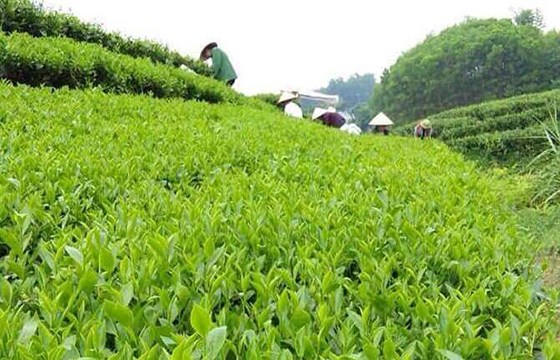 Bac Giang : le the du village de Ven est de plus en plus connu hinh anh 1