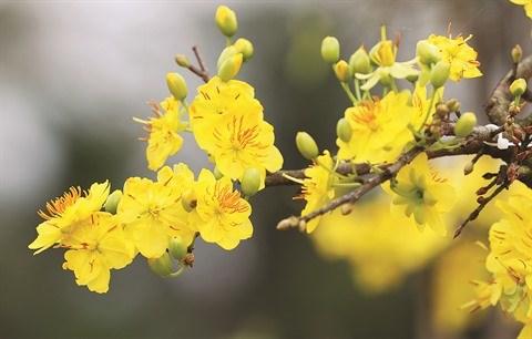 A Nhon An, le bonheur est dans le jardin des abricotiers hinh anh 1