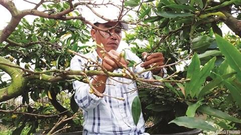 A Nhon An, le bonheur est dans le jardin des abricotiers hinh anh 2