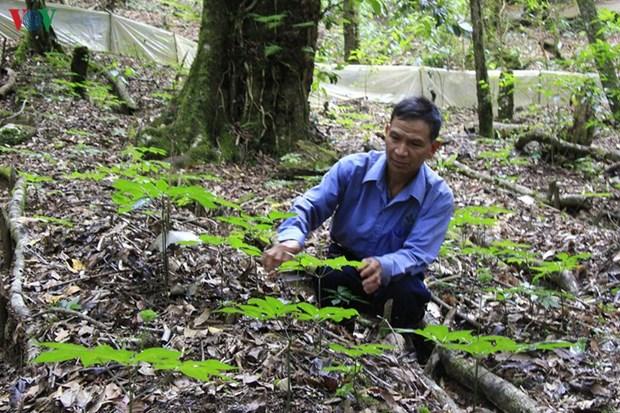 Les plantes medicinales, une aubaine pour les Sedang de Kon Tum hinh anh 1