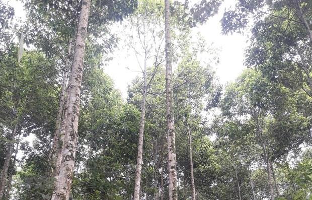Quang Tri va developper 60.000 ha de forets certifiees d'ici 2030 hinh anh 1