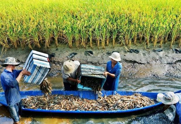 Soc Trang mise sur la rotation entre peneiculture et riziculture hinh anh 1