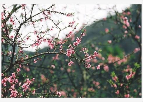 Laissez-vous eblouir par les fleurs de pecher a Ha Giang hinh anh 2