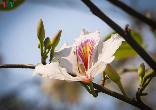 La bauhinie, une fleur typique du Nord-Ouest hinh anh 1
