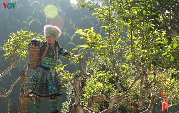 The Shan Tuyet de Suoi Giang, la quintessence de la montagne du Nord-Ouest hinh anh 1