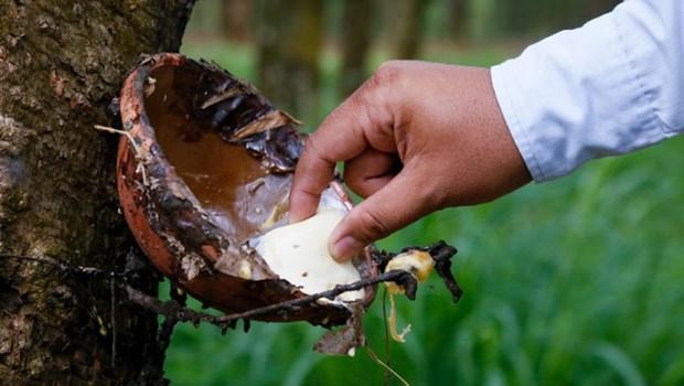 Cambodge : les exportations de caoutchouc naturel en hausse hinh anh 1