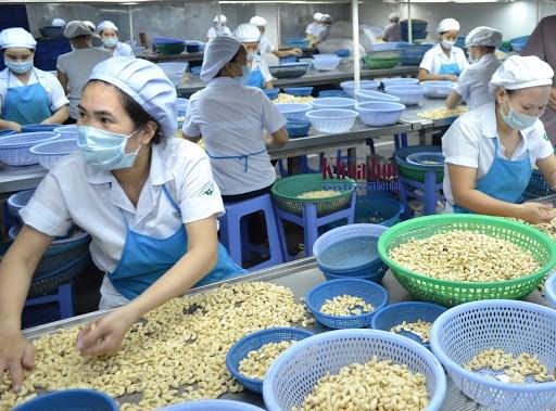 Noix de cajou: Pres d'un milliard de dollars d'exportations en 4 mois hinh anh 1