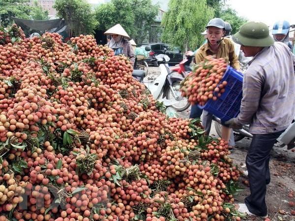 Des experts japonais au Vietnam pour verifier le litchi frais pour l'exportation hinh anh 1