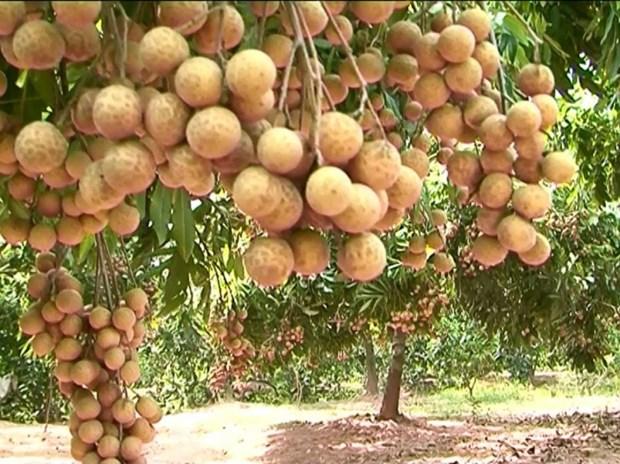Son La accelere les exportations de longanes vers les Etats-Unis et l'Australie hinh anh 1
