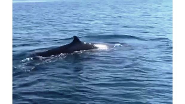 Une baleine de plus de 4 m dans les eaux de Cu Lao Cham hinh anh 1