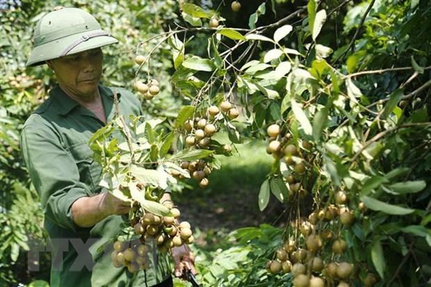 La promotion des exportations de longane vers le marche chinois hinh anh 1