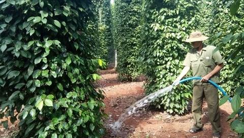 Les exportations vietnamiennes de poivre manquent de piquant hinh anh 1