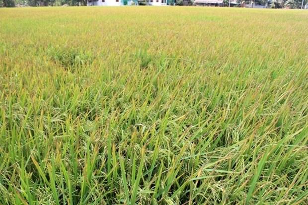 Les grands potentiels de riz parfume du Vietnam dans l'UE hinh anh 1