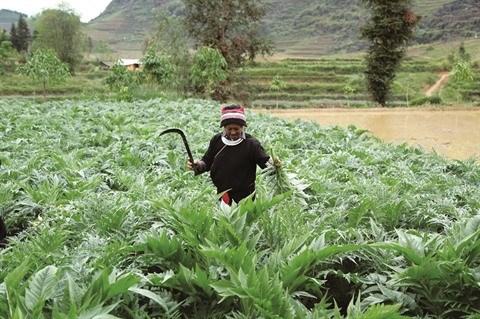 La culture de l'artichaut gagne du terrain a Lao Cai hinh anh 1