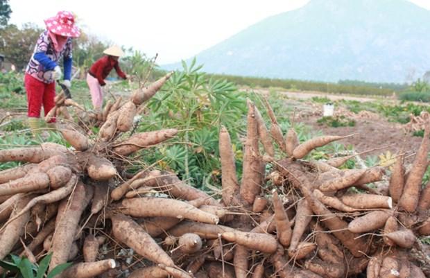 Le Vietnam exporte 685 millions de dollars de manioc et produits derives hinh anh 1