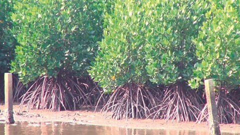 Proteger la mangrove pour preserver le littoral a Tam Giang hinh anh 2