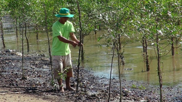 Des menages de Tra Vinh plantent des forets pour prevenir l'erosion cotiere hinh anh 1