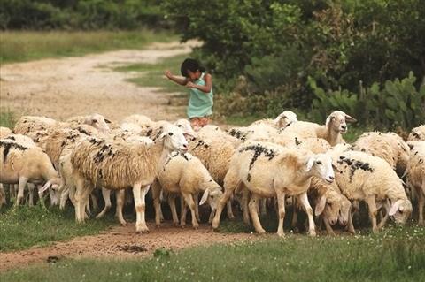 Les agneaux a Ninh Thuan ne sont pas silencieux hinh anh 1