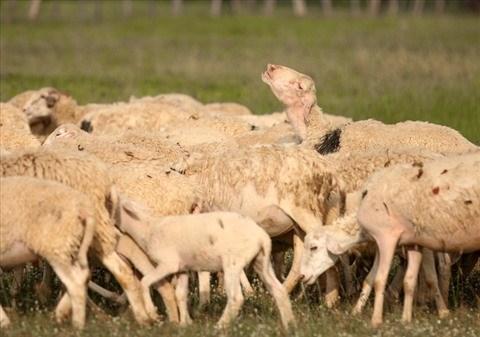 Les agneaux a Ninh Thuan ne sont pas silencieux hinh anh 2