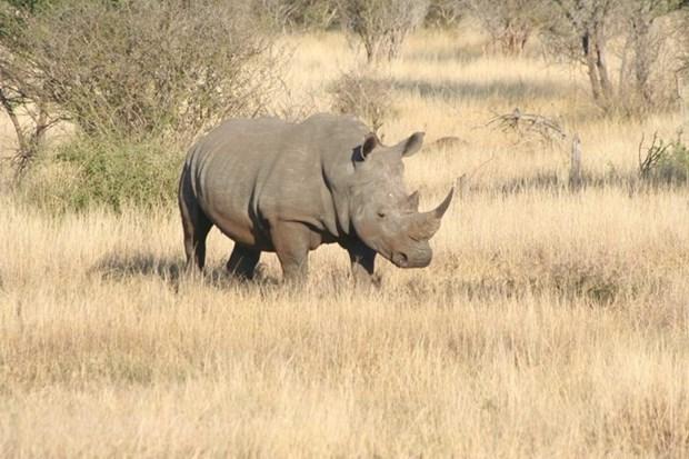 Un puissant appel pour mettre fin a l'utilisation de la corne de rhinoceros au Vietnam hinh anh 1