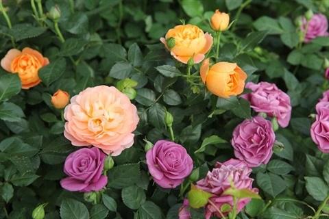 La floriculture change la physionomie de Xuan Quan hinh anh 3