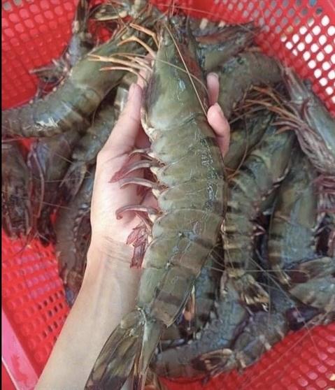 Elaborer des indications geographiques pour les crevettes tigrees noires de Ca Mau hinh anh 1